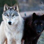 """Чара. Легенда о Белой волчице.(""""Наследство"""", окончание)"""